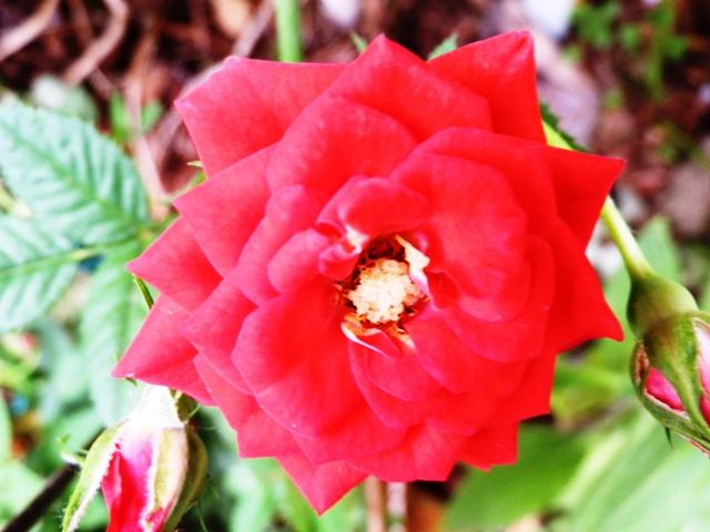 バラ赤色 (5).JPG